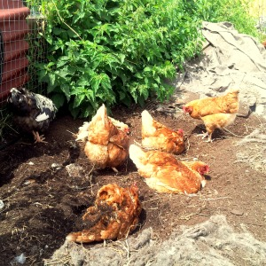 These chickens at Urban Digs Farm are a perfect example of permaculture at work. http://www.urbandigsfarm.com/